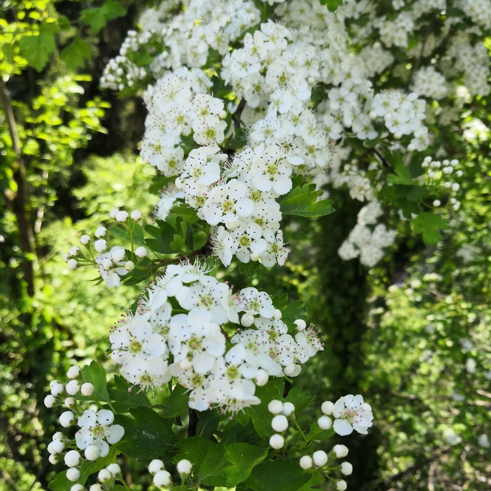 Petites fleurs blanches sur feuillage vert